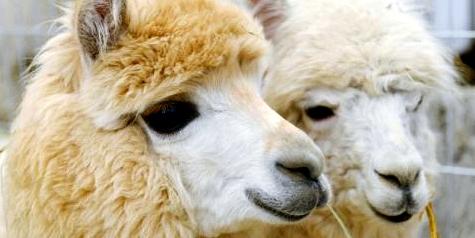 Tiergestützte Therapie mit Alpakas