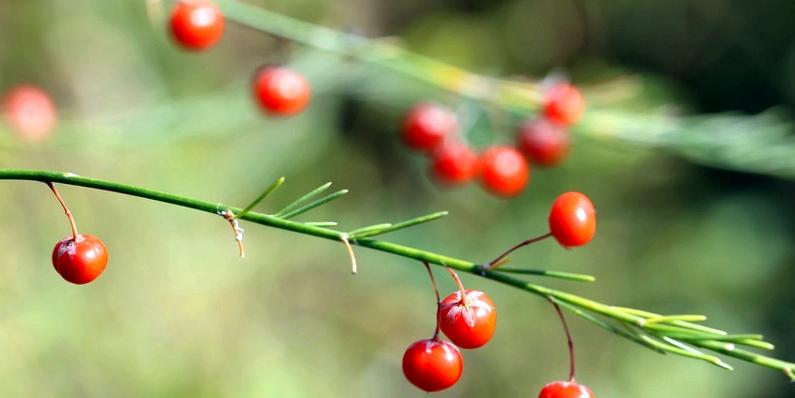 Spargel mit roten Beeren