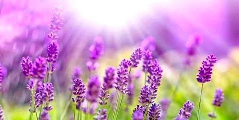 Mit Lavendel besser lernen