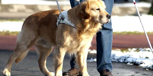 Ein Blindenhund kann blinden Personen den Alltag erleichtern