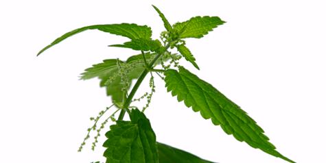 Die Wirkstoffe der Brennessel helfen auch bei Nasenbluten