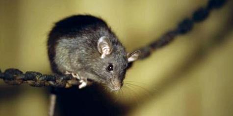 Ratten schleppen Pesterreger ein