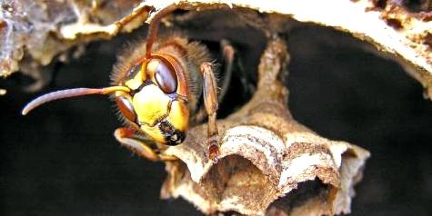 Eine Hornisse baut die Röhren ihrer Nester aus zerkautem Holz