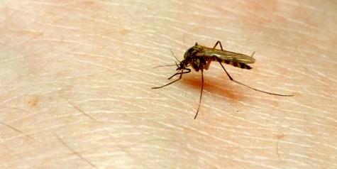 Mücken übertragen gefährliche Krankheiten wie Malaria